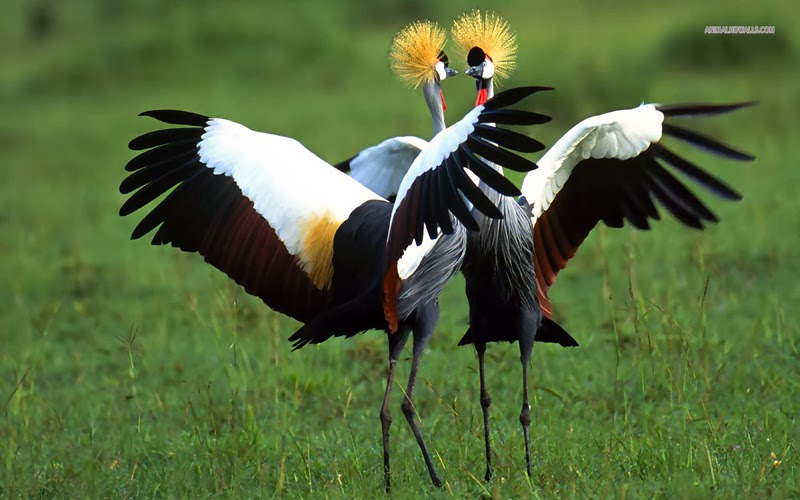 Dancing crowned crane