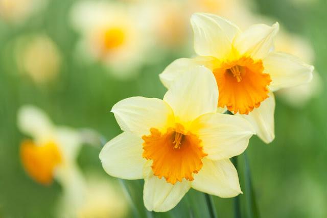 hoa thuy tien dep nhat 4