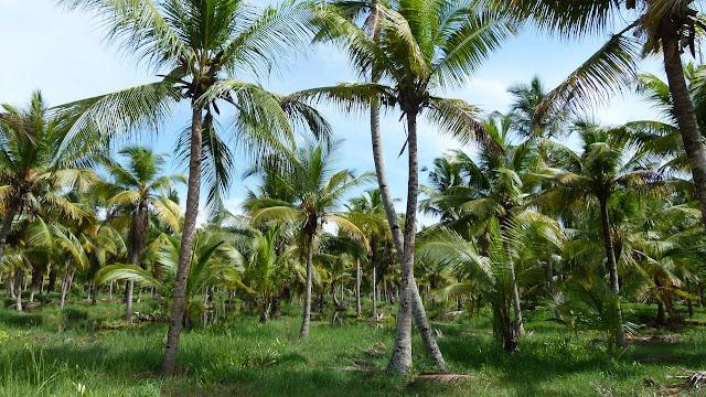 Investigadores aseguran que el coco es un material resistente a los terremotos