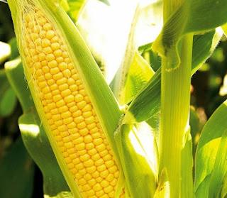 cara budidaya jagung manis bonanza f1,cara budidaya jagung manis pdf,cara menanam jagung manis yang baik dan benar,cara merawat jagung manis,cara berkebun jagung manis,