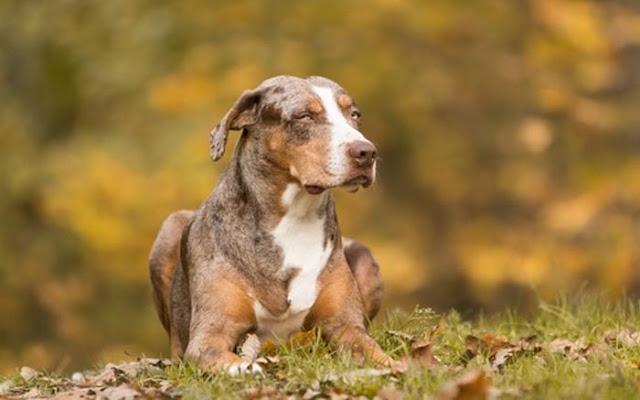 Giống chó Catahoula Cur