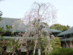 鶴岡八幡宮の枝垂桜
