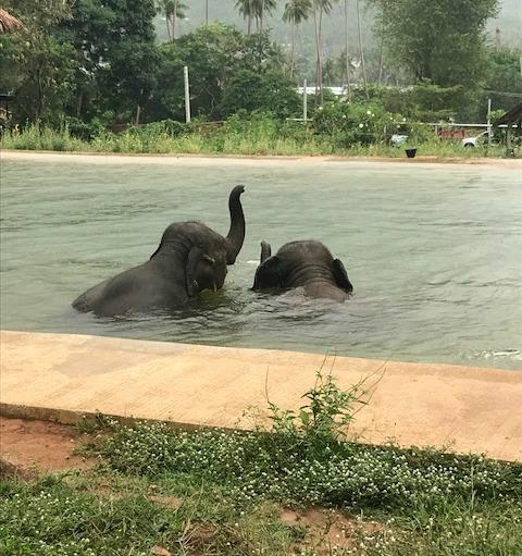 baby elephants in the pool at samui elephant sanctuary