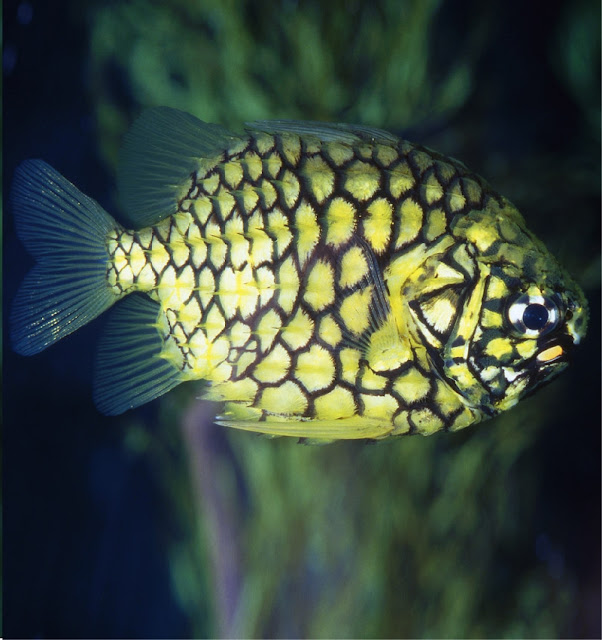 Pineapple fish photo