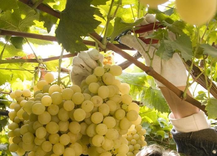 Filippo mele blog metapontino uva da tavola in crisi con - Uva da tavola coltivazione ...
