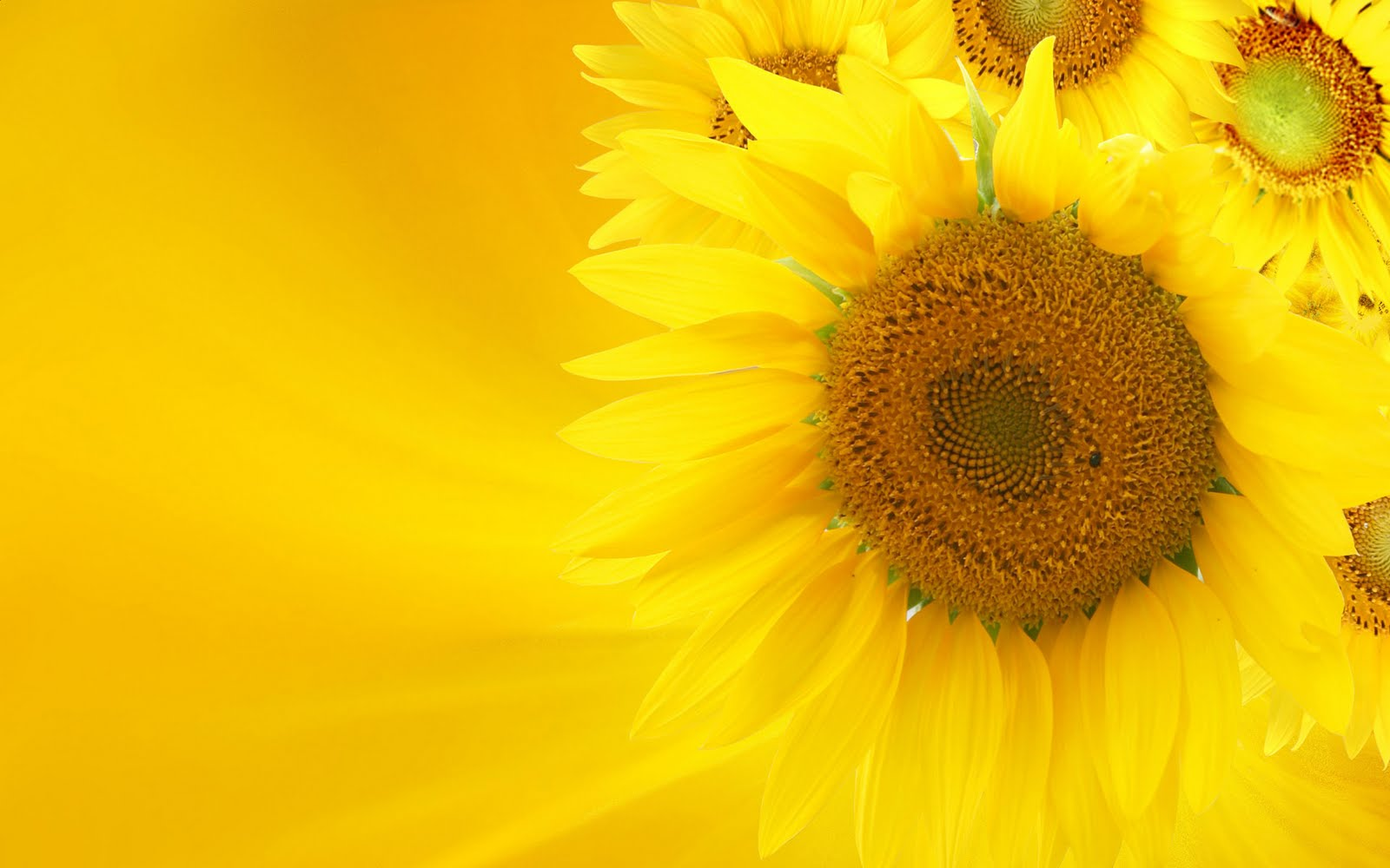 wallpaper: Sunflower wallpaper