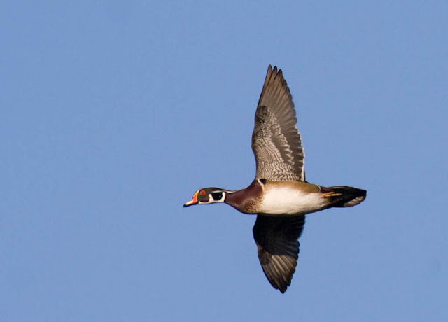 Figure 9: A duck, obviously. But the compact wing (short and broad) compared to other ducks, large blocky head and, especially, the long squarish tail make the silhouette of the Wood Duck unique.