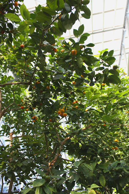 Oranges growing in Chicago inside the Garfield Park Conservatory