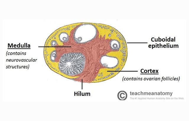Ovarium atau indung telur adalah salah satu organ reproduksi pada wanita yang berfungsi u Ovarium : Pengertian, Struktur, Fungsi