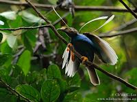 11 fakta unik burung bidadari halmahera dari gambar, ciri ciri, asal dan lainnya