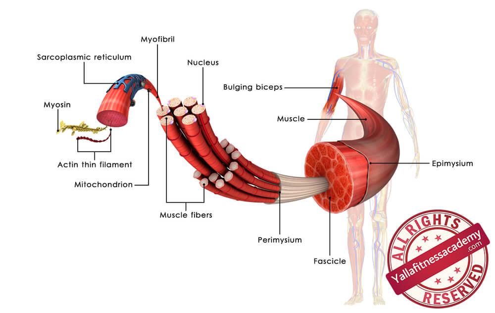 العضلات الهيكلية Skeletal Muscles