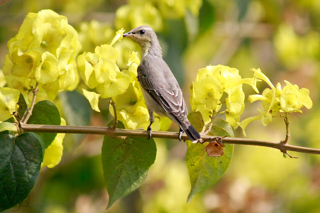 Female Purple Sunbird feeding on nectar