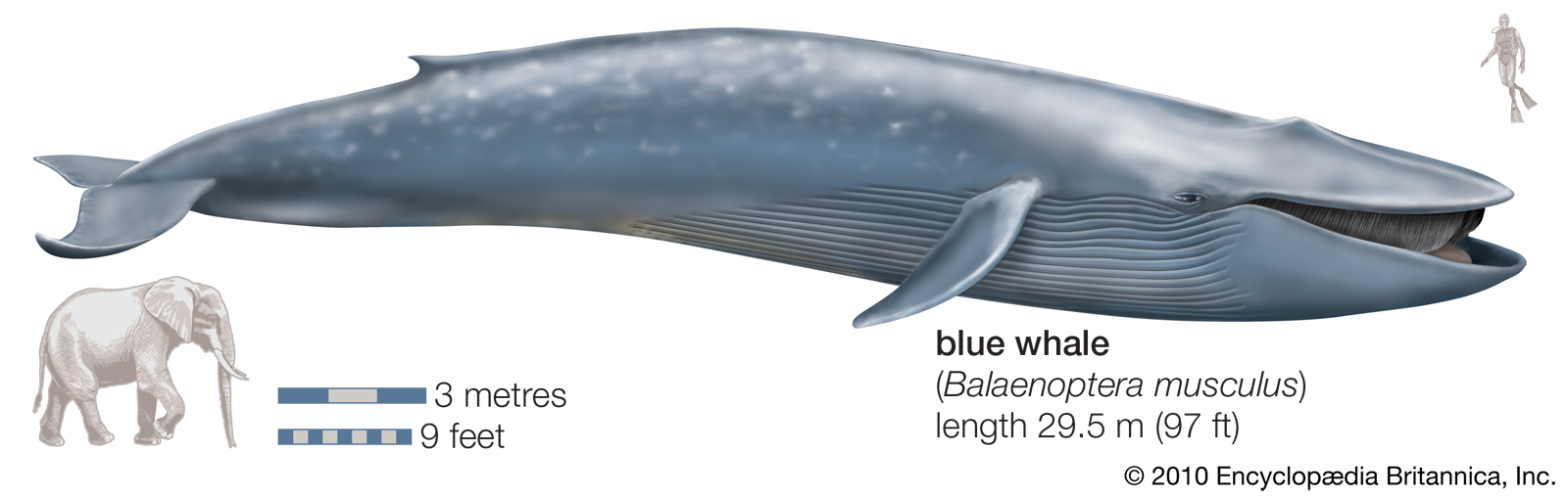 The Blue Whale - SNSH - photo#17
