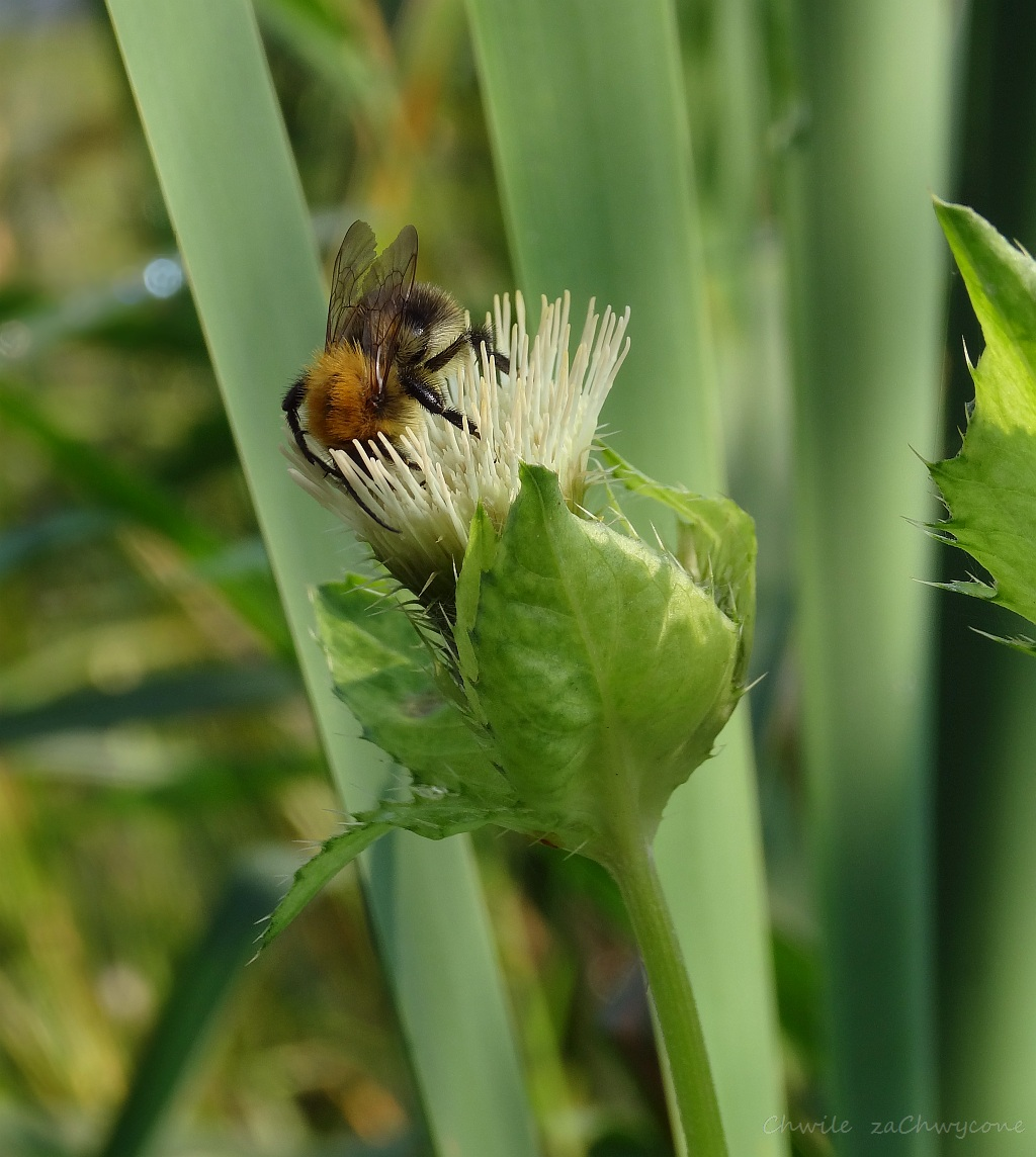 Ostrożeń warzywny Cirsium oleraceum, czarcie żebro zdjęcia informacje