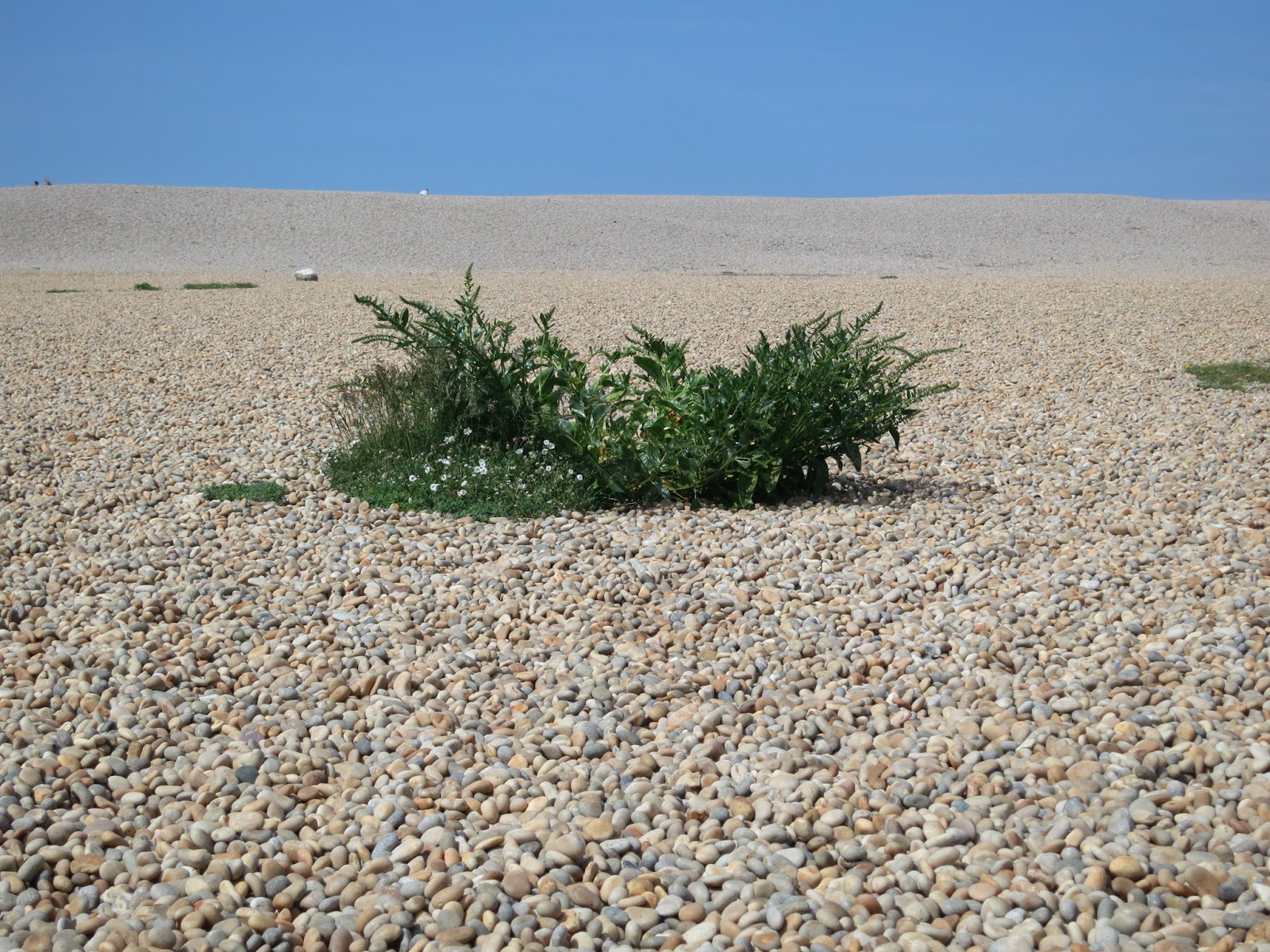 Large sea beet plant in the midst of pebbles on Chesil Beach