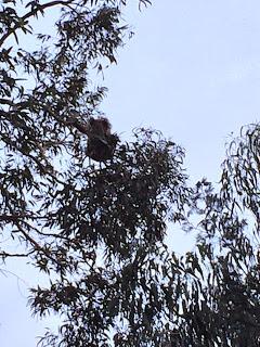 First ever koala sighting. Him: continue eating. Me: pee my pants.