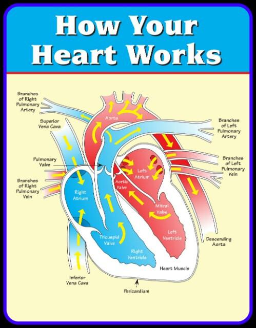 How Your Heart Work, HUMAN HEART, BLOOD CIRCULATION,HUMAN ANATOMY