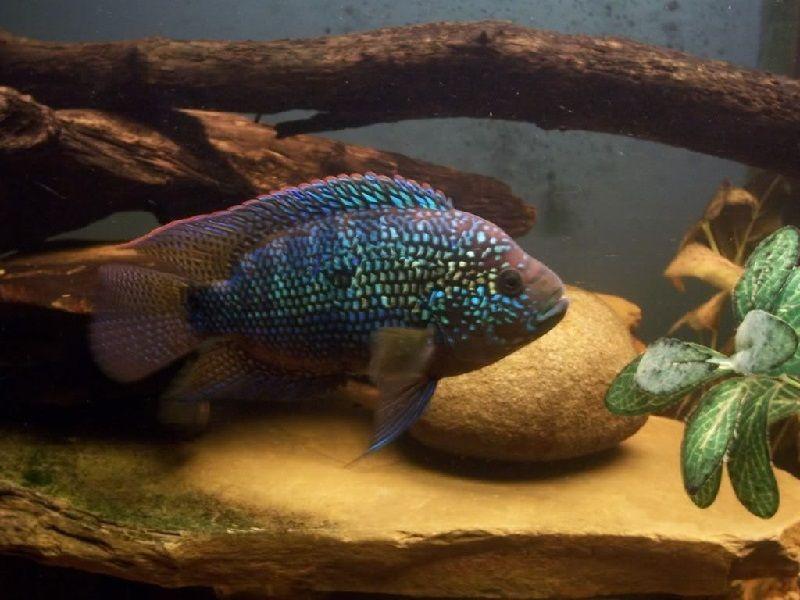 35. Jenis Ikan Hias Aquascape Jack Dempsey