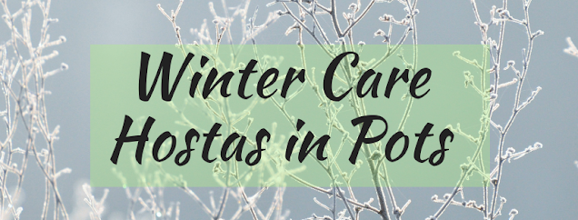 Winter Care for Hostas in Pots