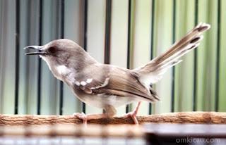 Burung Ciblek - Burung Ciblek Hanya Gacor Waktu Tertentu - Penangkaran Burung Ciblek
