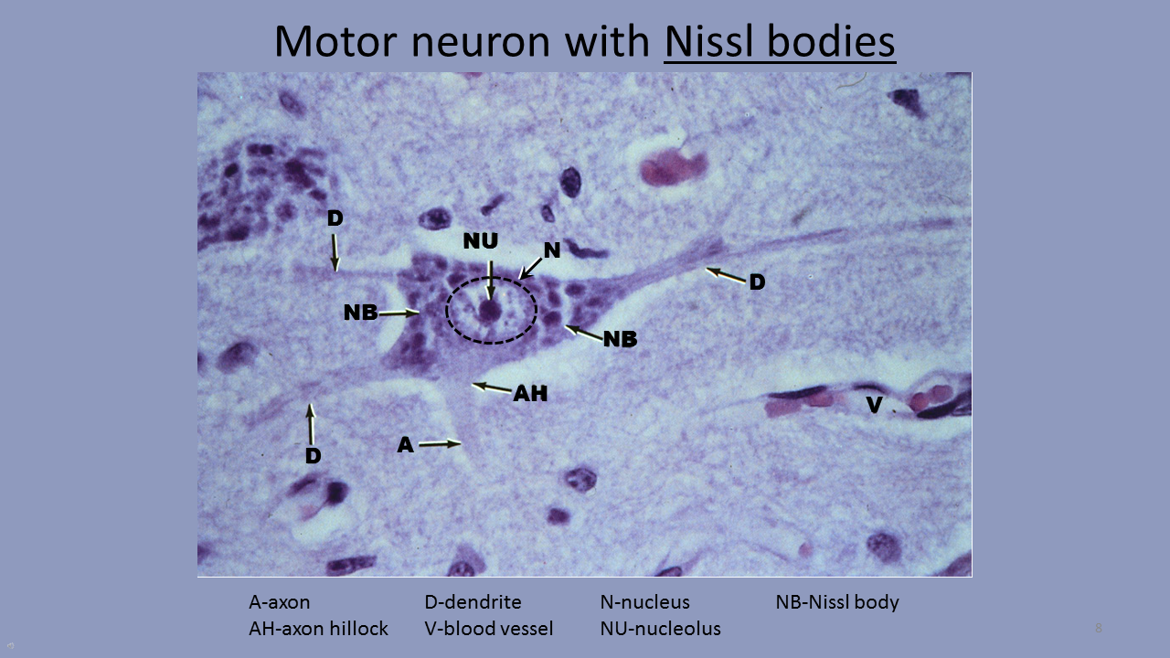 SER SERVIDOR: Histology of the peripheral nervous system.