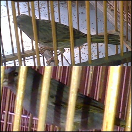 Burung Kenari StarBlue Warna Tembus Polos No Slap Unik Istimewa Langka Gacor