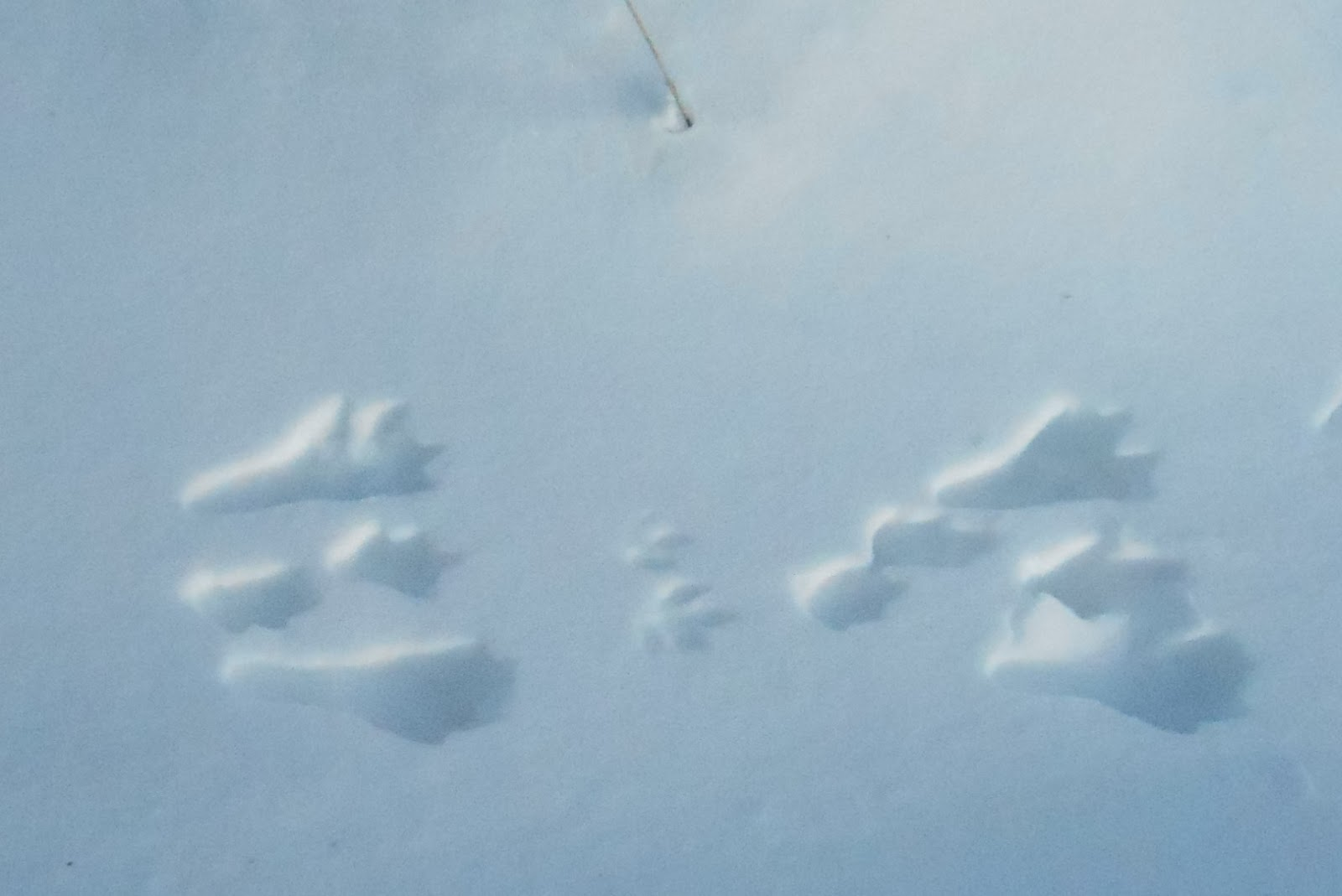 Backyard Beasts Eastern Cottontail Tracks And Trails