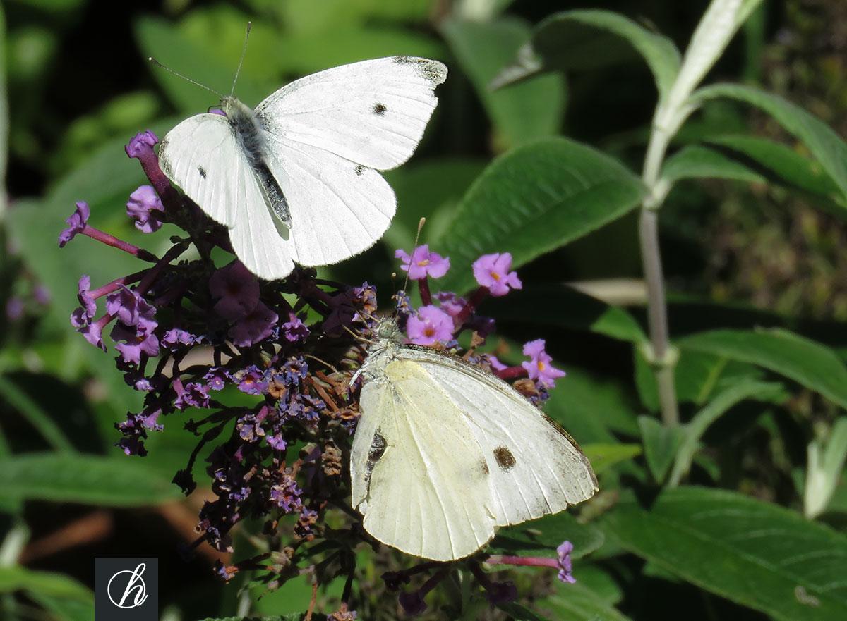 100 Incroyable Concepts Les Papillons De Mon Jardin