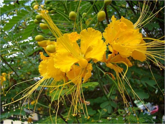 A sua copa tem um formato largo e seu crescimento é relativamente rápido. A época de floração é de outubro a dezembro. O seu fruto é do tipo vagem, conhecido também como legume.