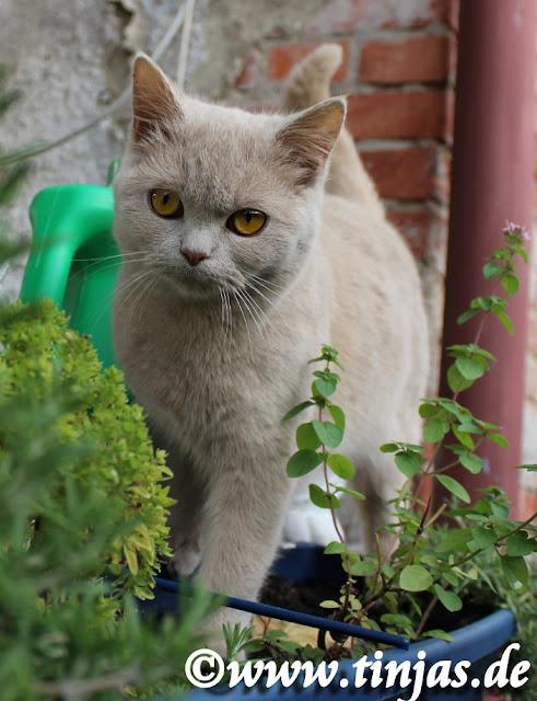 Britisch Kurzhaar Katzenbaby in fawn aus der Tinjas Katzenzucht