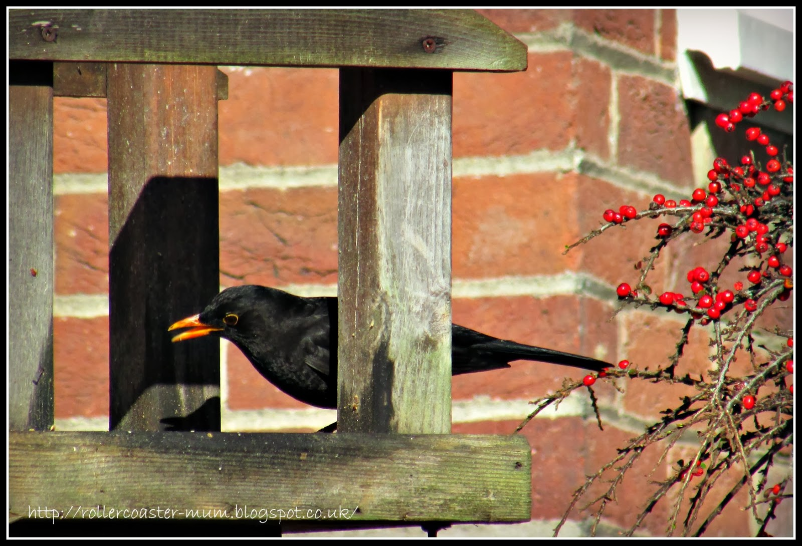 Male (Daddy) Blackbird with red berries