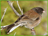 junco bird pictures