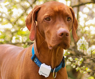 dog wearing the pet tractive gps device