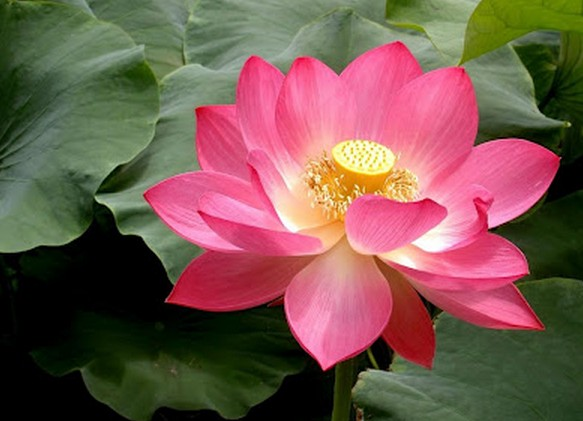 Lotus-red-flower-Wallpaper