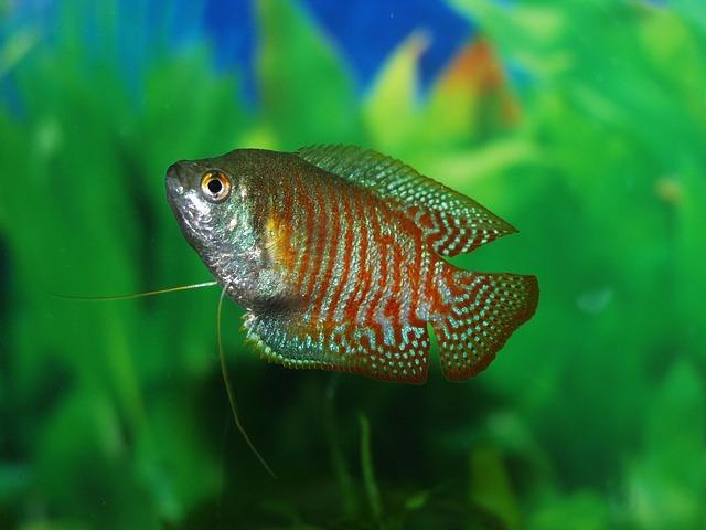 10 Jenis Ikan Hias Air Tawar Terindah dan Terpopuler