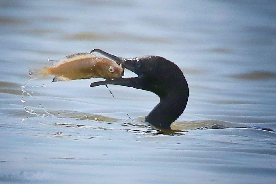 burung pecuk padi hitam