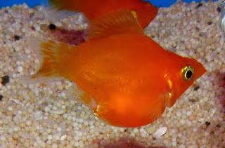 金魚快訊部落格Goldfish message blog: 球魚系列圖鑑(Poecilia latipinna series illustrations)