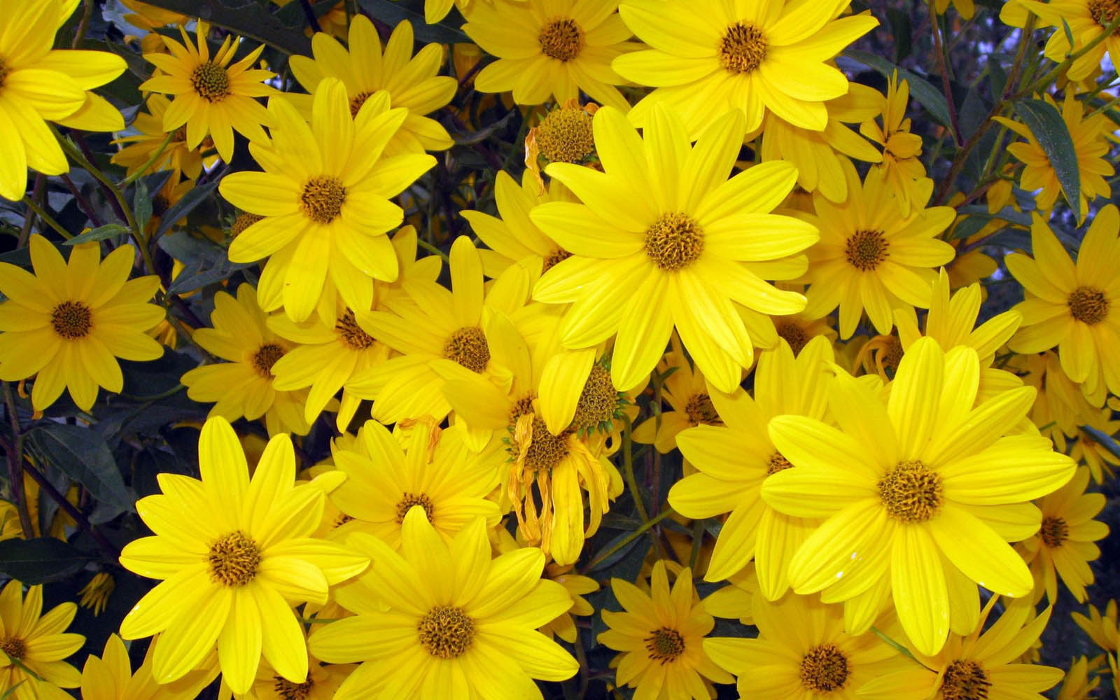 wallpapers: Aster Flowers Wallpapers