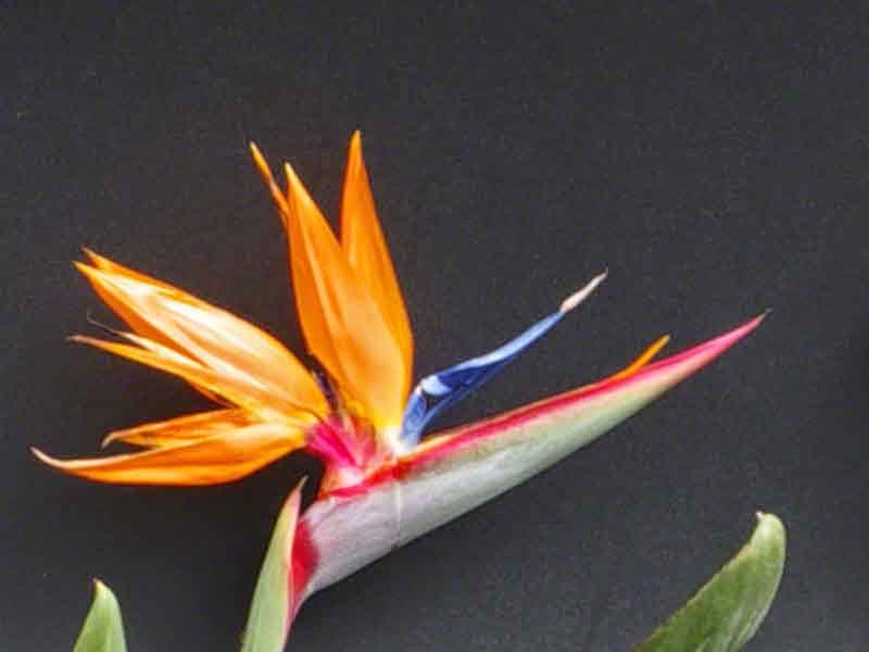 Bird of Paradise,flower,black background