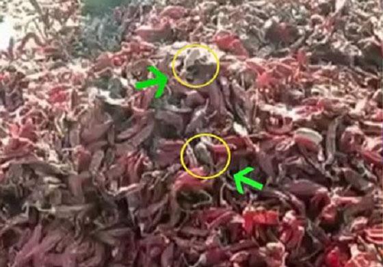 Video Pembuatan Cabai Olahan Yang Jadi Viral