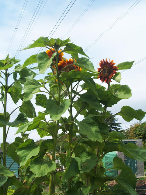 very tall allotment sunflowers