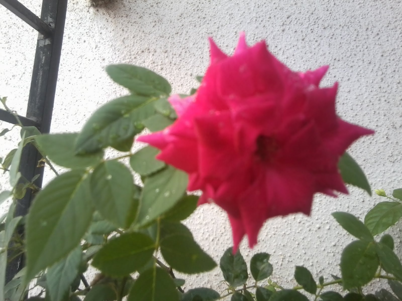 My views a rose is a rose is a rose i sit and watch these rose flowers grown seeing these plants bloom and flower has put a smile on my facelourful rose flowers give a beautiful izmirmasajfo