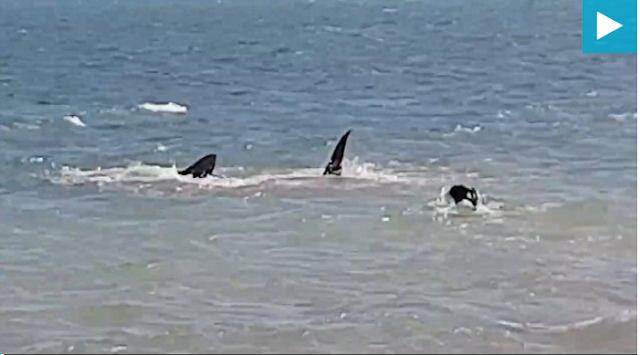 Σοκαριστική στιγμή! Ατρόμητος σκύλος ΒΟΥΤΑΕΙ στη θάλασσα και ΚΥΝΗΓΑΕΙ καρχαρία-τίγρη! (ΒΙΝΤΕΟ)