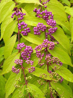 Beautyberry Callicarpa dichotoma 'Early Amethyst' at the Toronto Botanical Garden by garden muses-not another Toronto gardening blog
