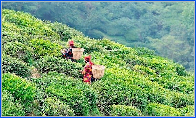 Gorkha women collecting tea leaves in Darjeeling