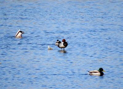 Pato colorado en Laguna de Navaseca