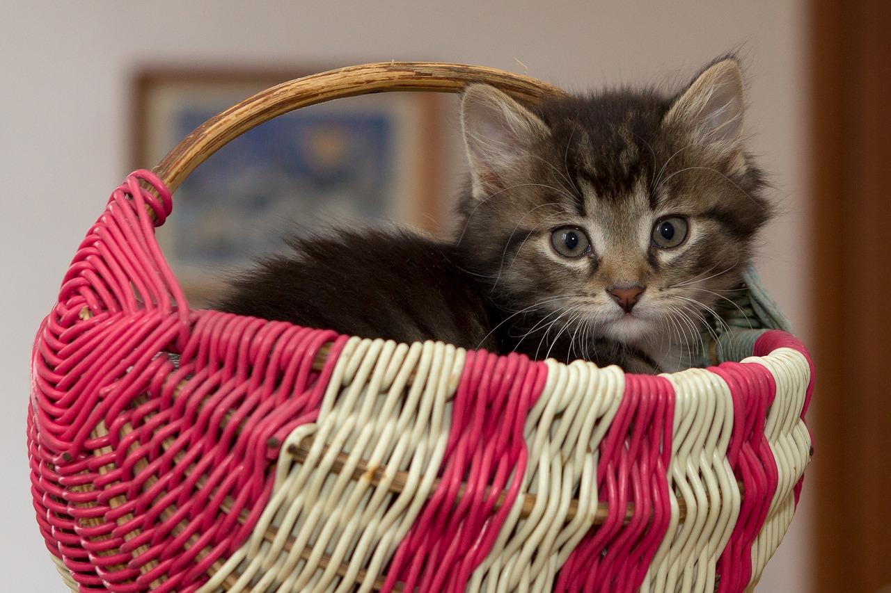 Kucing duduk dalam bakul