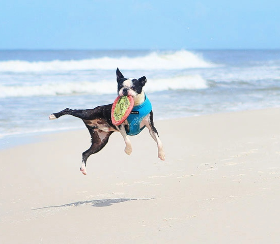 Dog Playing Frisbee on the Beach