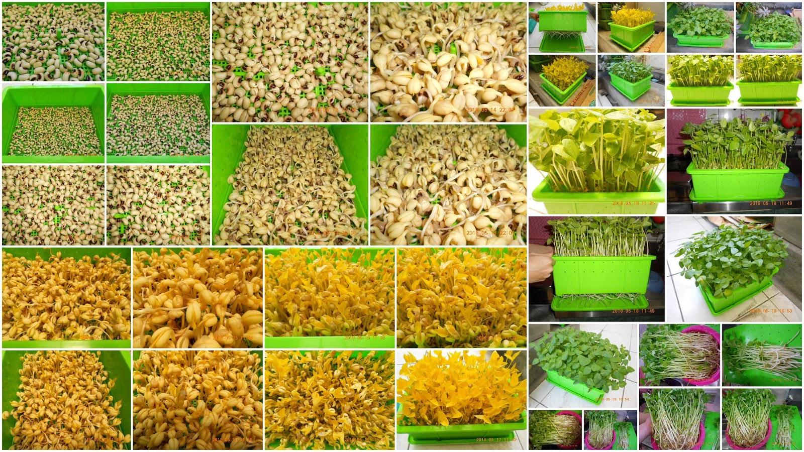 芽菜自己在家簡單種, 有機無毒自己來把關