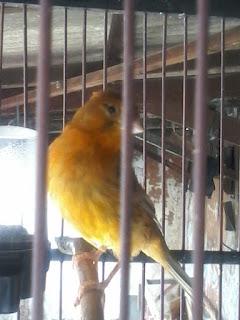 Faktor tumpuan perawatan memang menjadi salah satu faktor yang utama dalam membentuk burung k Cara Memperindah Suara Burung Kenari